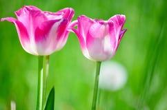 在郁金香领域的桃红色郁金香 免版税库存图片