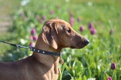 在郁金香领域的达克斯猎犬 免版税图库摄影