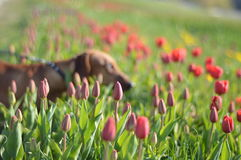在郁金香领域的达克斯猎犬 免版税库存图片
