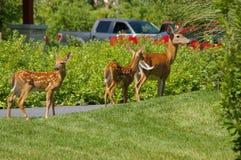在郊区居民的鹿 免版税库存照片