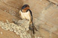 在部分地被修造的泥巢栖息的家燕 免版税库存照片