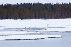 在部分地冻湖的天鹅 库存图片