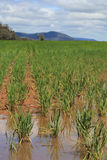 在部份洪水以后的浸满水麦子庄稼 免版税库存照片