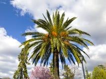 在都市公园的一棵棕榈树Hervas的,西班牙 图库摄影