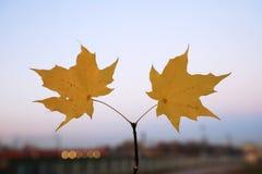 在都市背景的黄色秋叶 免版税库存图片