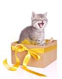 在配件箱集的逗人喜爱的灰色小猫 免版税库存图片