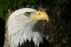 在配置文件的白头鹰 库存照片