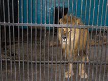 在酒吧后的狮子 免版税库存图片
