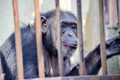 在酒吧平底锅穴居人圣猴子后的黑猩猩在没有空间的动物园里 免版税库存图片