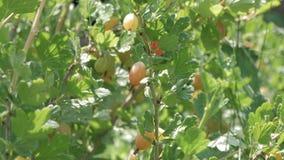 在醋栗灌木丛分支的新鲜的绿色鹅莓与阳光的 鹅莓在果子庭院里 新鲜成熟 影视素材