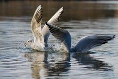 在采取对从湖的飞行的冬天全身羽毛的黑朝向的鸥 免版税库存照片