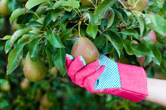 在采摘一个成熟梨的手套的农夫的手 免版税库存照片