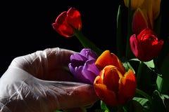 在采摘从郁金香花束,黑暗的背景的不育的手套的手紫罗兰色新鲜的湿郁金香花 库存图片