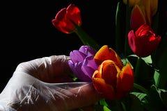 在采摘从郁金香花束,黑暗的背景的不育的手套的手紫罗兰色新鲜的湿郁金香花 图库摄影