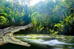 在里维埃拉玛雅人的鳄鱼photomount玛雅 库存图片