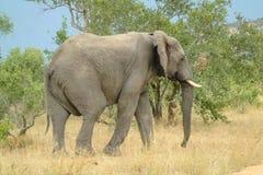 在重的灌木和蓝天-克留格尔国家公园的大象侧视图-南非- 2017年 免版税图库摄影