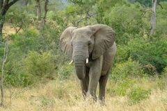 在重的灌木耳朵-克留格尔国家公园的大象正面图-南非- 2017年 免版税图库摄影