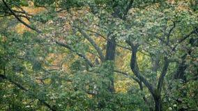 在重的降雨量的树 股票录像
