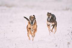 在野兔狩猎期间的两条寻找的Sighthound Hortaya Borzaya狗 图库摄影