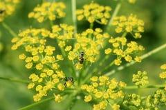 在野欧洲防风花的蚂蚁 免版税库存图片