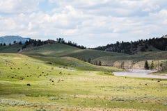 在野生动物的北美野牛在黄石开放平原  免版税库存照片