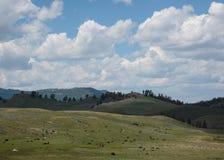 在野生动物的北美野牛在黄石开放平原  免版税图库摄影