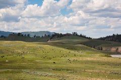 在野生动物的北美野牛在黄石开放平原  免版税库存图片