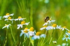 在野生春黄菊花的蜂在草甸和麦子 免版税库存照片