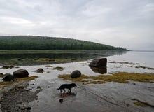 在野生生物中的达克斯猎犬 免版税库存照片