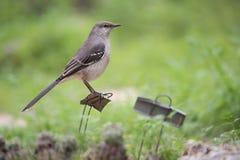 在野生生物友好的庭院里栖息的北模仿鸟 免版税库存照片
