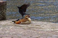 在野生生物和乌鸦的埃及鹅 免版税库存图片