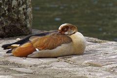在野生生物的困埃及鹅在一个晴天 图库摄影