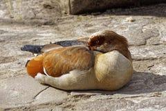 在野生生物的困埃及鹅在一个晴天 库存照片