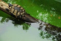 在野生生物的小乌龟 库存图片