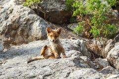 在野生生物的小的狐狸 库存图片