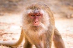 在野生生物的短尾猿猴子 免版税图库摄影