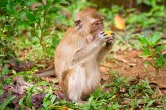 在野生生物的短尾猿猴子 免版税库存照片
