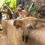 在野生生物的短尾猿猴子 免版税库存图片