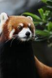 在野生生物的红熊猫 免版税库存图片