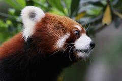 在野生生物的红熊猫2016年 免版税库存图片