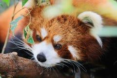 在野生生物的红熊猫 免版税库存照片