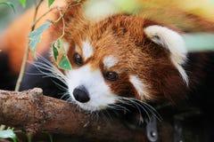 在野生生物的逗人喜爱的红熊猫 免版税库存照片