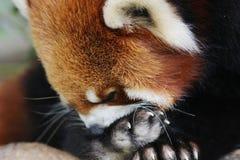 在野生生物的逗人喜爱的红熊猫 免版税库存图片