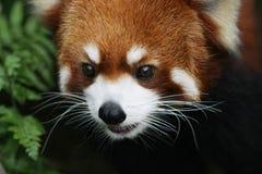 在野生生物的逗人喜爱的红熊猫 图库摄影