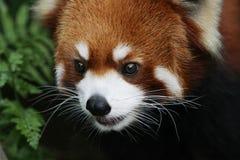 在野生生物的逗人喜爱的红熊猫 免版税图库摄影