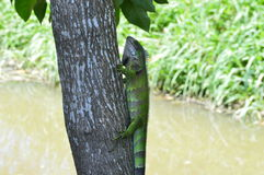 在野生生物的鬣鳞蜥 免版税库存图片