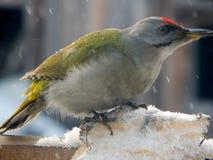 在野生生物的鸟啄木鸟 库存照片