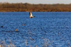 在野生生物管理区域内的野生琵嘴鸭鸭子在秃头瘤,阿肯色 库存图片