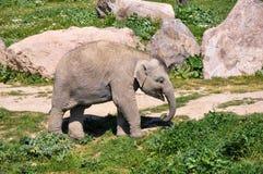 在野生生物,伊兹密尔,土耳其Sasali公园的一头亚洲小牛  免版税库存图片