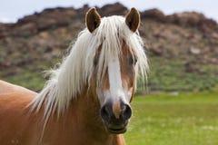 在野生野马马的空白鬃毛 免版税库存照片